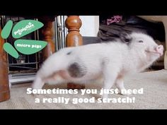 Itchy Little Micro Piggy - YouTube