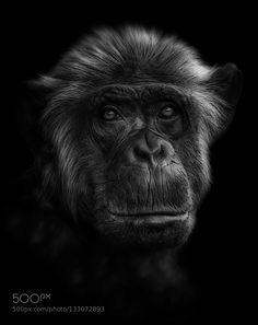 """""""Conquest of the Planet of the Apes"""" by Johnnybrambach"""
