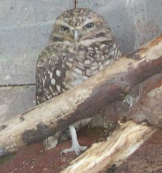 Burrowing Owl at the Zoo