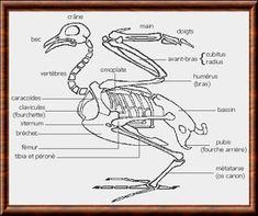 Squelette d'un oiseau