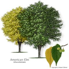 American Elm (White Elm) Texas native, reliable fall color, seeds or fruit eaten by wildlife Features:	Deep green leaves turn bright yellow in fall. Comments: Fast-growing, vase-shaped shade tree that tolerates a wide range of conditions. Problems:	Dutch elm disease not too bad in Texas; extensive, shallow root system.