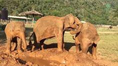 Am liebsten relaxt diese Elefantendame friedlich auf ihrem Erdhügel. Andere Dickhäuter vertreibt sie mit vollem Körpereinsatz. (Screenshot: YouTube/elephantnews)
