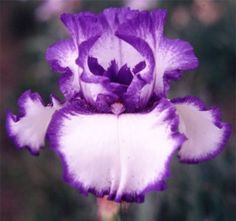 Comanche Acres Iris Gardens - Gower, MO - Classic Look Tall Bearded Iris