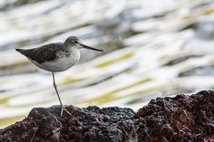 A common (up to 4000m) but elusive Wader, rather difficult to catch! Chevalier guignette - Actitis hypoleucos - Common Sandpiper  Awassa Lake, Rift Valley, Ethiopia