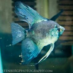 Philippine Blue Paraiba Angelfish