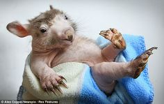 'Shrek' the stressed-out orphan baby wombat who lost all his fur