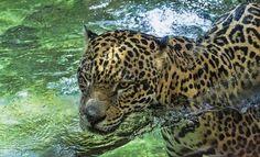 JAGUAR!! Photo by Alvaro Barrera — National Geographic Your Shot