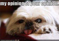 Shih Tzu ... opinionated Tzu