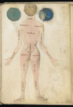 Anatomical illustrations from an English medical treatise dating...