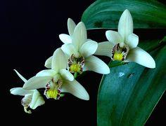 Eria Rhynchostyloides | eria | Eria rhynchostyloides - Page 2 | Eria Orchids | Pinterest