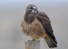 Swainson's Hawks soar on narrow wings or perch on fence posts and irrigation spouts.   _allaboutbirds.org