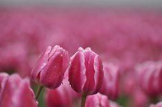 Noordoostpolder. Tulpen.