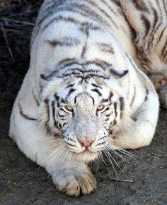 Tiger - Greatest L♡VE