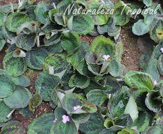 Cultivo de la planta Violeta de Asia, Kaempferia elegans