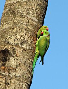 Ringneck Bird, Alexandrine Parrot, Optical Illusion Paintings, Ring Necked Parakeet, Blue Bird Art, Cute Birds, Pretty Birds, Free Photoshop, Colorful Birds