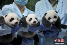 Panda triplets in Guangzhou open their eyes for the first time