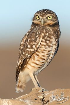 Burrowing Owl. Love these guys, always looking so curious.