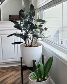 How to Shape a Rubber Plant when it fans out.