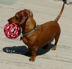 Chloe will only play with her green ball even though she has this same red ball-go figure #persnickety doxie