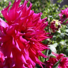 Dahlia Jocondo - Big, BOLD pink dahlias. Nothing shy about this lovelies.