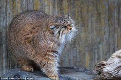 En las praderas y estepas de Asia Central vive esta curiosas especie de pequeño gatos salvaje. Sus grueso pelaje les hace parecer mucho más grandes de lo que son. Estos animales solitarios pasan la mayor parte del día en cuevas y sólo emergen al final de la tarde para comenzar la caza. La degradación de su hábitat y la caza han les han puesto en peligro.