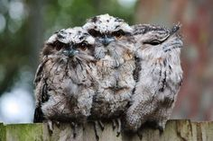 Australian tawny frog-mouthed owls