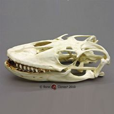 Komodo Dragon Skull - Bone Clones, Inc. - Osteological Reproductions