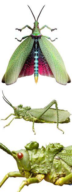 Phymateus viridis