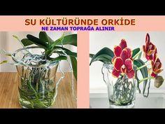 SU KÜLTÜRÜNDE ORKİDE NE ZAMAN TOPRAĞA ALINIR, SU KÜLTÜRÜNDE ORKİDE KÖKLENDİRME, SU KÜLTÜRÜNDE ORKİDE - YouTube Glass Vase, Bouquet, Youtube, Gardens, Gardening, Culture, Bouquet Of Flowers, Bouquets, Floral Arrangements