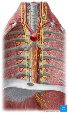 Greater splanchnic nerve - ventral view