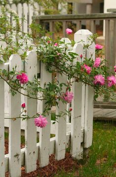 white picket fence and pink roses