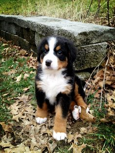 My new puppy Anna deserves her own pin. Utterly and totally obsessed. Bernese mountain dog!!! 7 weeks in this picture <3