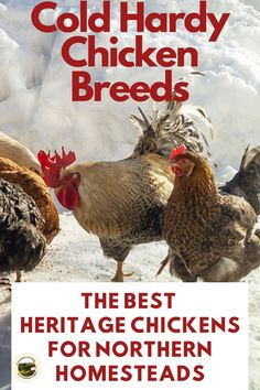 The top chicken breeds for cold climates. These dual purpose chickens do great in Canadian winters. Raise these hardy chickens for meat and eggs!