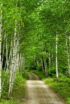 Backroad in the birch forest (Michigan) by Drjulesm