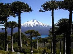 Over 50 percent of plant life in Chile's Winter Rainfall-Valdivian Forest biodiversity hotspot are native to the forest, along with 70 percent of its amphibians and Parc National, National Parks, Sur Chile, Beautiful World, Beautiful Places, Les Continents, We Are The World, Wild Nature, Cool Landscapes