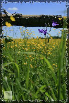 flowers meadow blumenwiese blumen