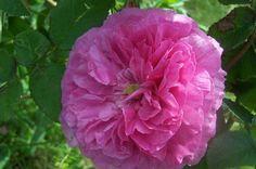 Le Rire niais, quel nom bizarre pour cette belle rose centfeuilles ! De taille moyenne (7 cm), c'est une fleur en quartiers, aux pétales enchevêtrés, d'un rose soutenu, plus foncé au cœur. Elle est également très parfumée. Arbuste de 120 à 150 cm.  Centifolia. Hybrideur inconnu, 1810.