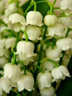 Lilies of the Valley - LOVE: LOVE LOVE