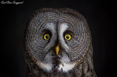 Photograph Great Grey Owl by Emil Steen Sanggaard on 500px