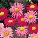 Cheerful, perfectly formed daisy flowers that sparkle in vibrant pinks and reds. Plant daisies just about anywhere and watch them multiply and spread in a sea of bold, vibrant color. Product Information: Light: Full sun to partial shade Height: 2-3' Bloom Time: Early summer to fall Size: Bareroot Zones: 3 to 9