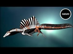 A new Spinosaurus skeleton proves one of the largest dinosaur predators ever discovered lived a largely aquatic lifestyle, opening up a new understanding of dinosaur's place in the ancient world and Dinosaur Fabric, Dinosaur Art, Dinosaur Crafts, Dinosaur Posters, Prehistoric Dinosaurs, Prehistoric Creatures, Rhino Facts, Spinosaurus Aegyptiacus, Monsters