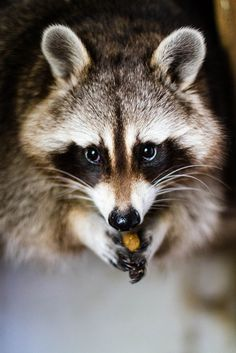 Raccoon by Kozure-Okami