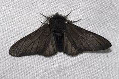 Biston betularia f. carbonaria, the black-bodied peppered moth. After pollution. Peppered Moth, Albinism, Mothman, Industrial Revolution, Beautiful Creatures, Wisteria, Cute Animals, Funny Animals, Butterfly