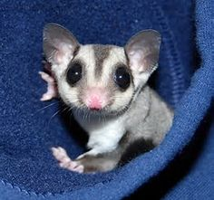 Image result for sugar gliders as pets