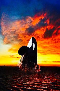 Killer Whale breaching against the setting sun