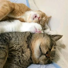 Talk About Sawing Wood! I Love Cats, Crazy Cats, Cute Cats, Funny Cat Photos, Funny Animal Pictures, Baby Animals, Funny Animals, Cute Animals, Gatos Cat