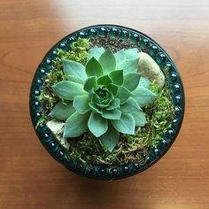 Echeveria Ciliata, Succulent
