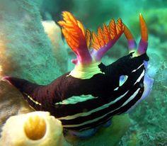 Nudibranch- kinda reminds me of shamoo