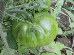 ¿Tomate marmande? Quién sabe, hasta que maduren todos no pondré orden entre las distintas tomateras que tenemos en el huerto, xDDDDD.