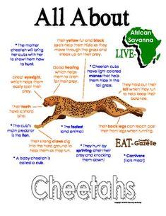 All About Cheetahs